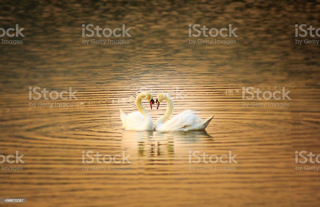 love  swan stock photo