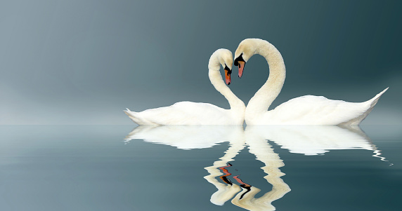 Two Swans on a misty lake