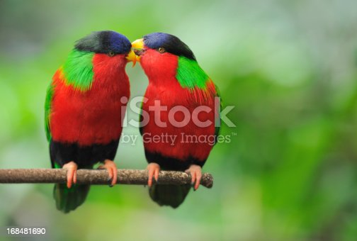 Parrots sitting on a branch whispering in wildlife. Nikon D3X.