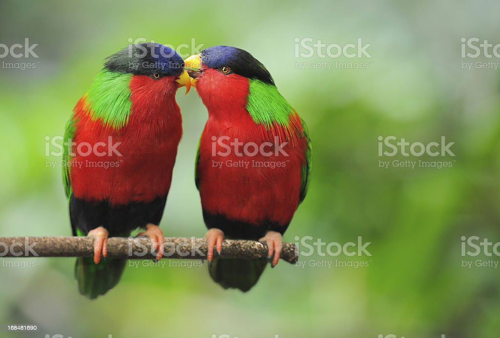 Love Talks - Parrots Whispering (XXL) stock photo