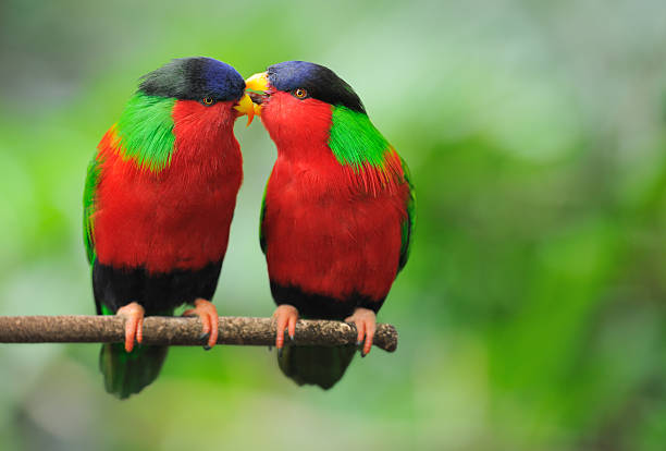 love talks - parrots whispering (xxl) - green winged macaw stock photos and pictures