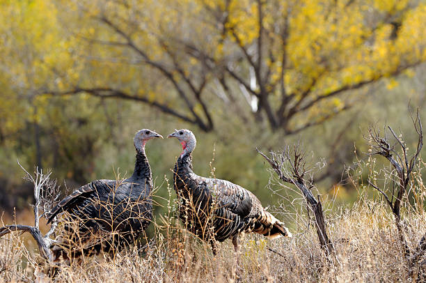 Love: Two Wild Turkeys in Fall With Yellow Leaves in Background Two young wild turkeys facing each other with fall color of cottonwoods in the background.  Their heads make a heart shape between them.  Must View Large to see without I-Stock logo over faces.  More bird photos in portfolio.  Thank you for looking. cottonwood tree stock pictures, royalty-free photos & images
