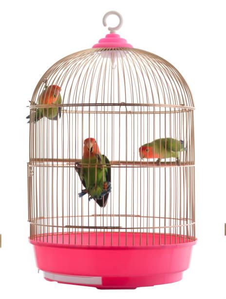 lovebird dans une cage sur un blanc - animaux familiers exotiques photos et images de collection
