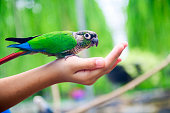 A lovebird is eating dry sunflower seeds in child hand.animal concept