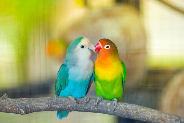 lovebird kiss - birds stock photos and pictures
