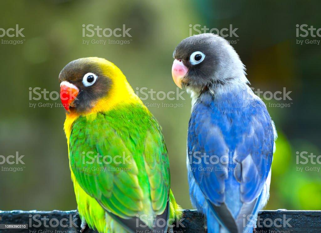 Lovebird Papageien zusammen zu sitzen. – Foto