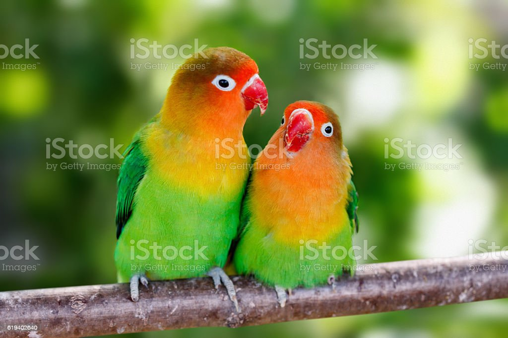 Lovebird parrots sitting together stock photo