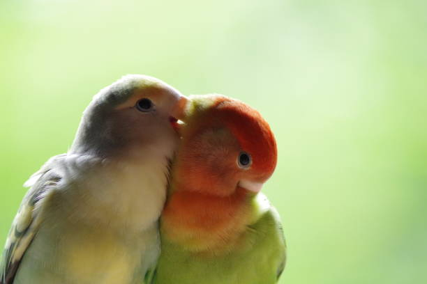 61 992 Love Birds Stock Photos Pictures Royalty Free Images Istock