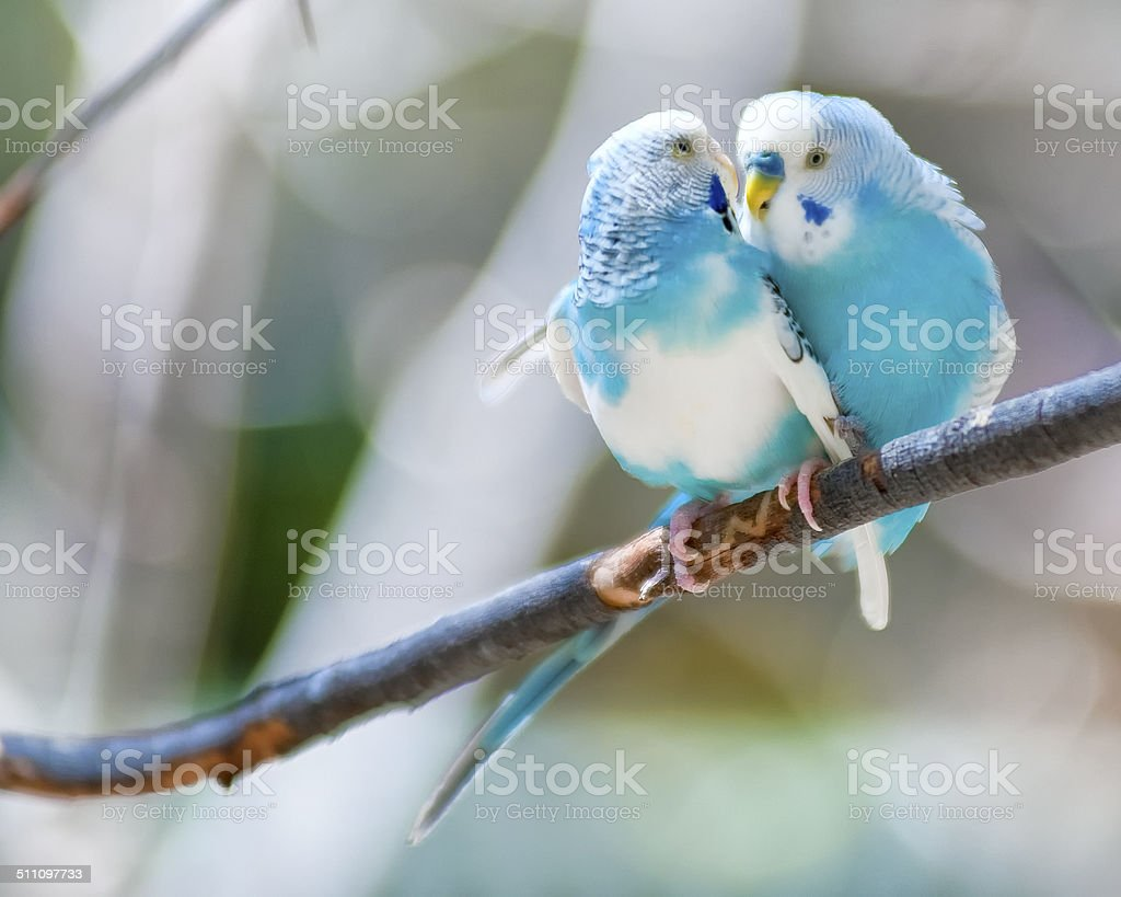 Lovebirds stock photo