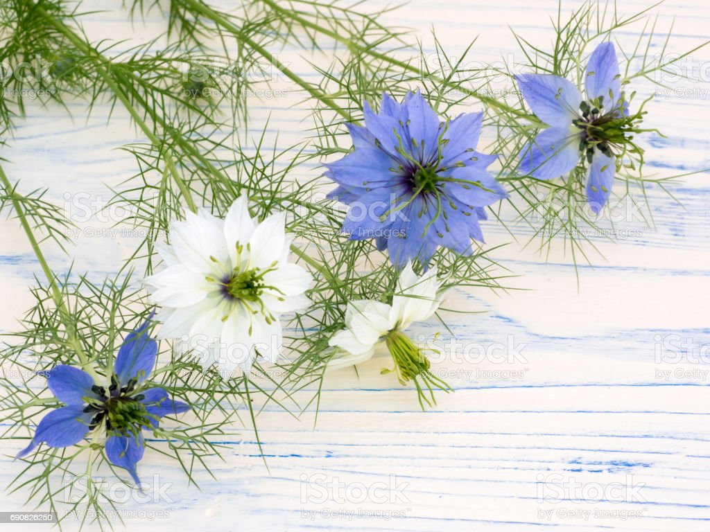 Love-in-a-mist flowers on a white wooden board stock photo