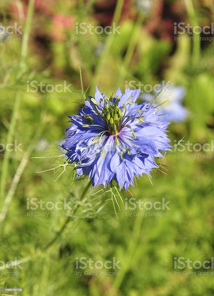 Love-in-a-mist (Nigella damascena) royalty-free stock photo