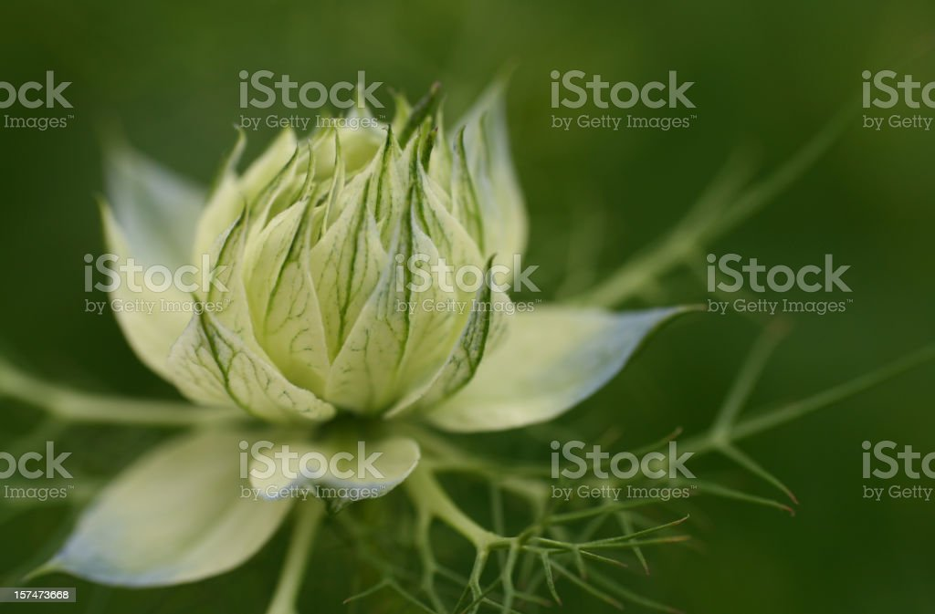 Love-in-a-mist stock photo