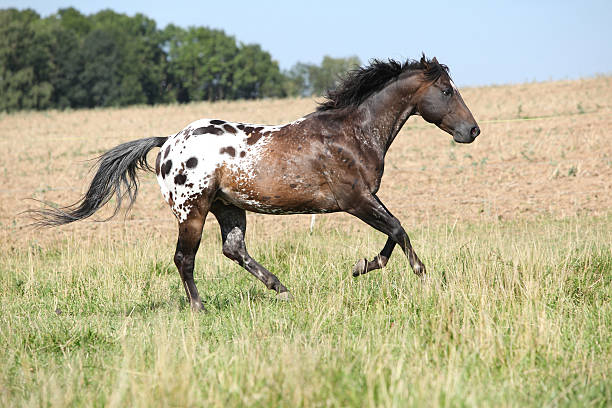 Lovely appaloosa stallion running Lovely appaloosa stallion running in front of the field appaloosa stock pictures, royalty-free photos & images