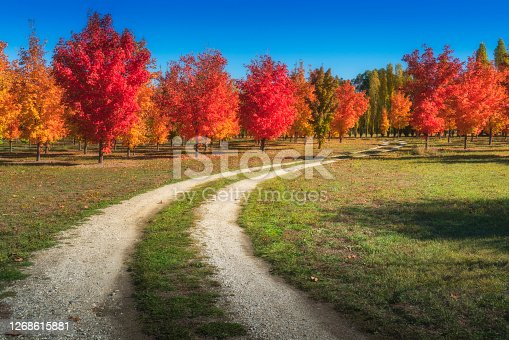 A lovely autumn maple trees on a dirt road in Roxburgh,New Zealand