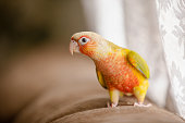 Lovely beautiful parrot, Green cheek conure, pineapple conure on sofa.