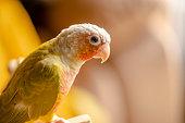 Lovely beautiful parrot, Green cheek conure, pineapple conure in studio shot.