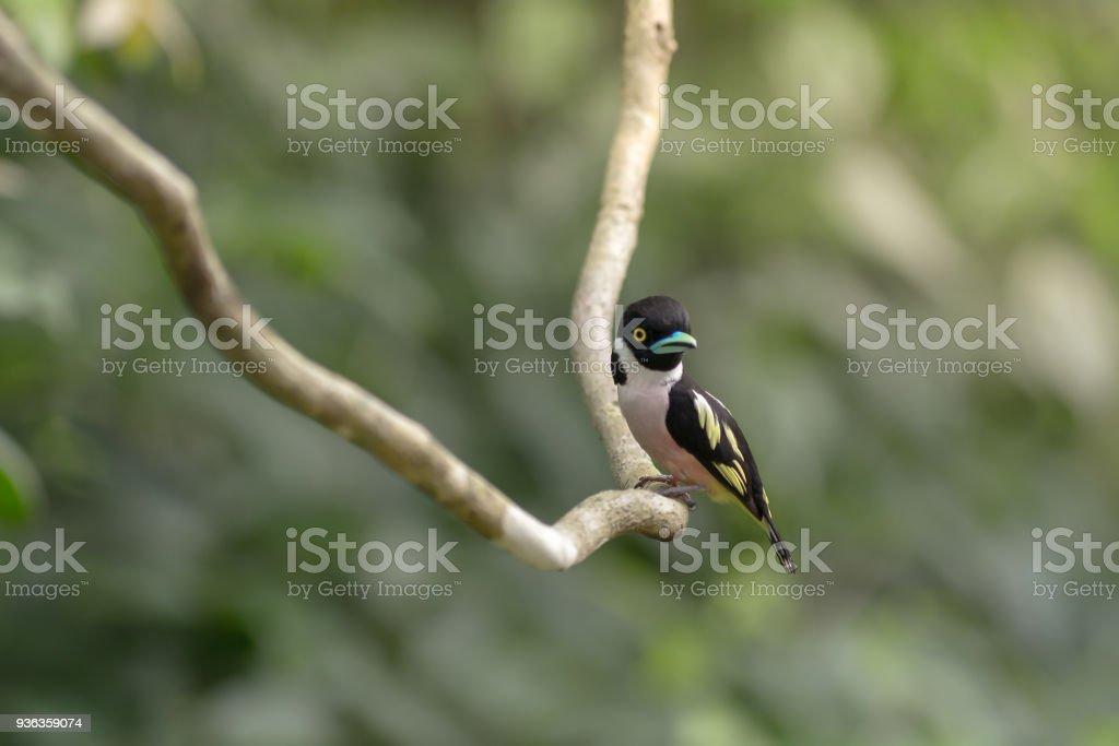 Lovely bird , Black-and-Yellow Broadbill