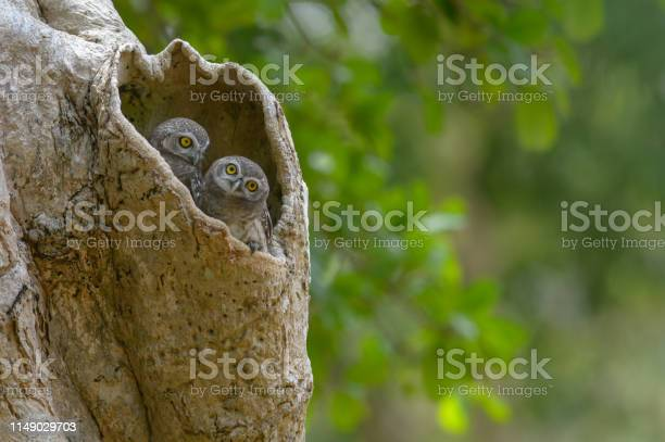 Lovely bird spotted owlet in a tree hollow picture id1149029703?b=1&k=6&m=1149029703&s=612x612&h=kurztjgeyzn1q8klbngvxnptx 9oofj 0horcqmxvlk=