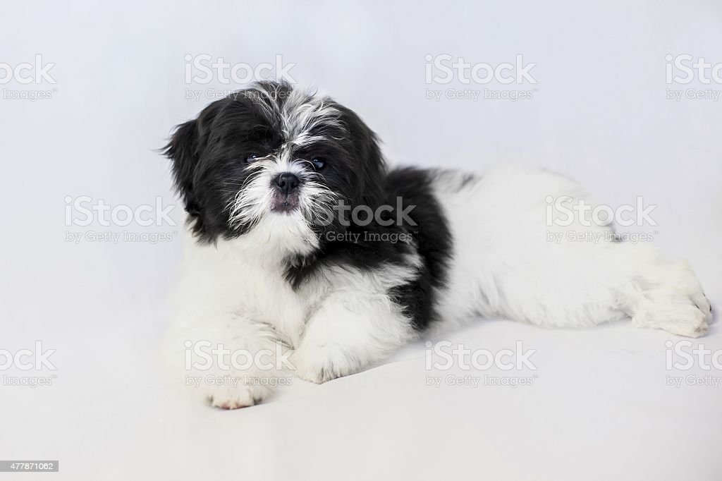 Lovely Black And White Shih Tzu Puppy Isolated Stock Photo More