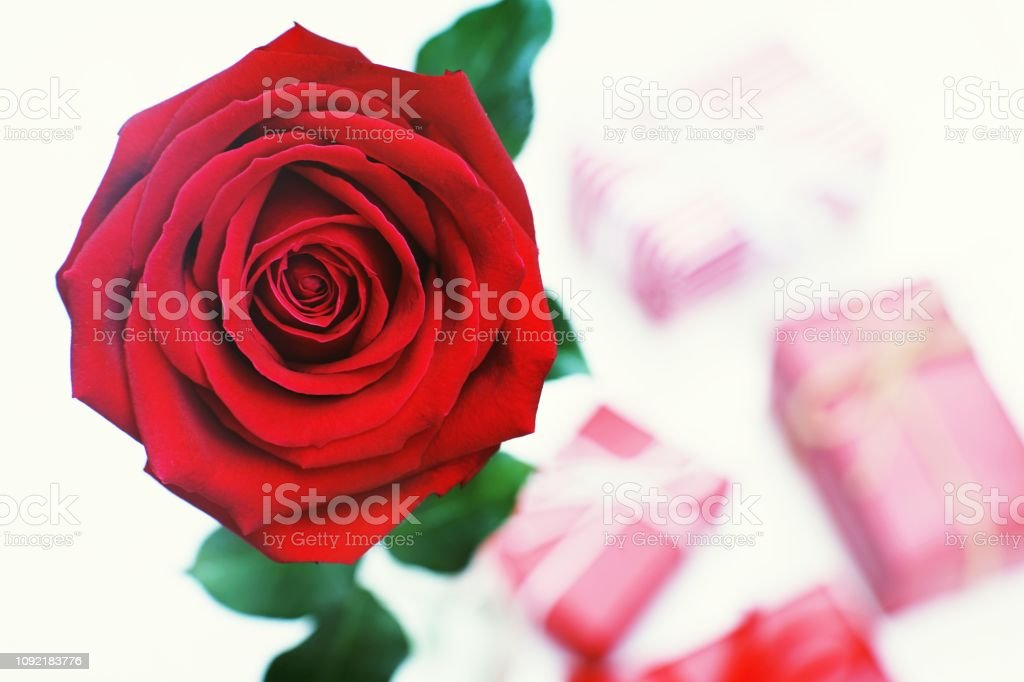 Lovely blooming red color rose flower and elegant gift box on wood...