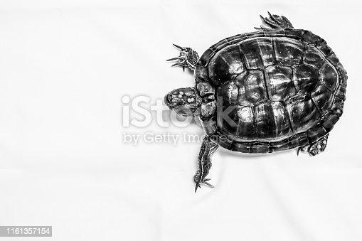 939399010 istock photo Lovely Brazilian turtle 1161357154