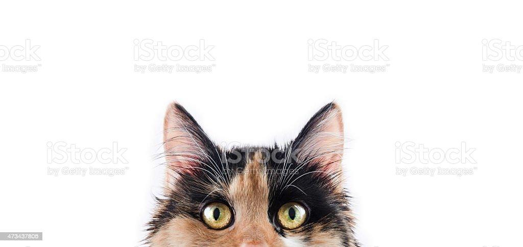 Lovely Calico Cat Pixie stock photo