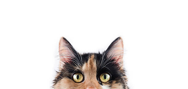 Lovely Calico Cat Pixie Cute three colored calico cat. This professional model is one year old, has gorgeous white teeths and lovely golden eyes. Photo made in professional photo studio. Say 'Hi!' to Pixie. tortoiseshell cat stock pictures, royalty-free photos & images