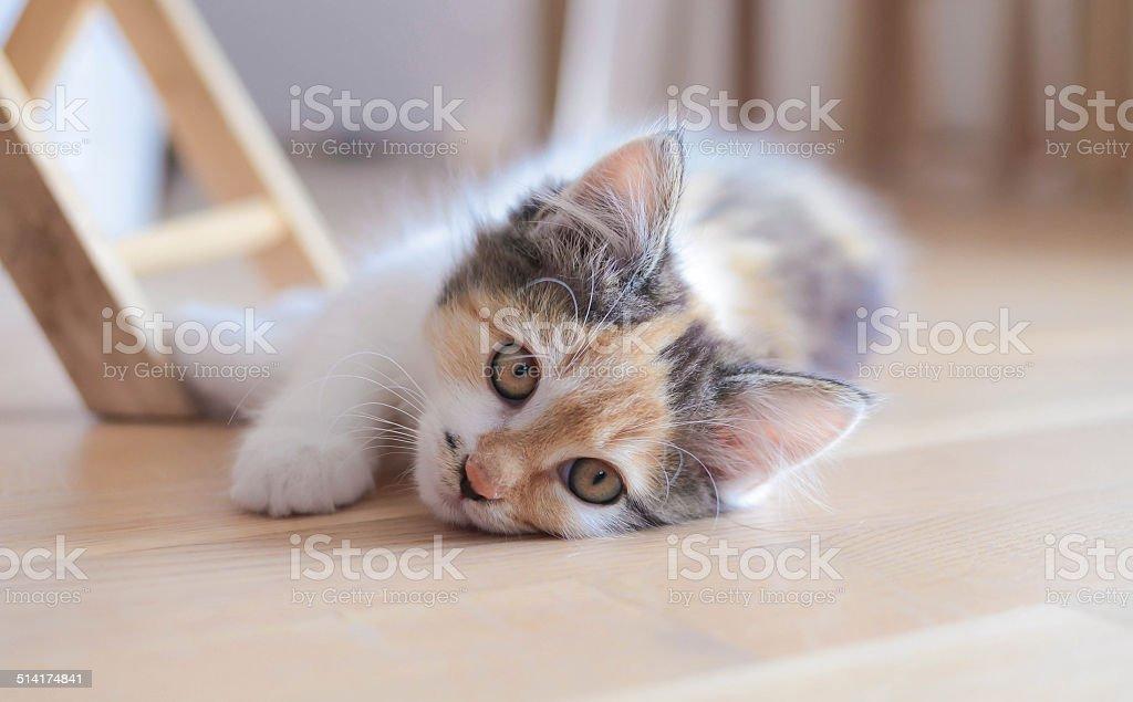 Lovely calico kitten lying on the floor stock photo