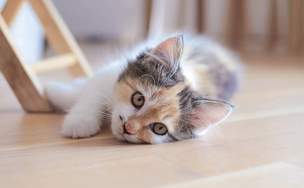 Lovely calico kitten lying on the floor Beautiful three colored kitten sleeps on the floor. Less post processing. Strong DOF. tortoiseshell cat stock pictures, royalty-free photos & images