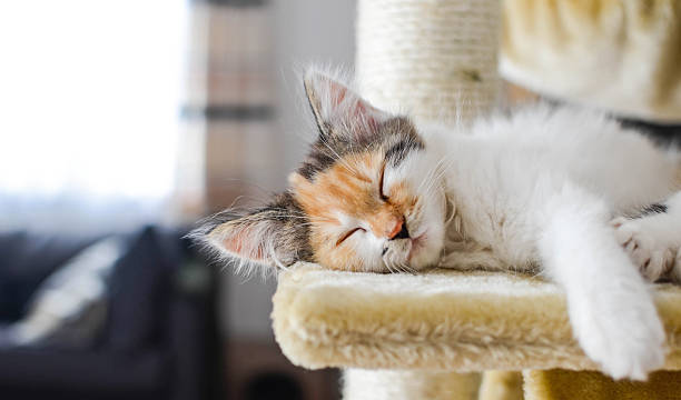 Lovely calico kitten sleeps on a scratching post stock photo