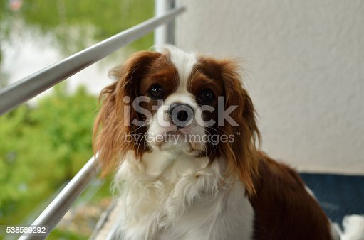 Lovely Dog, Cavalier King Charles Spaniel (Blenheim), in pose for shooting