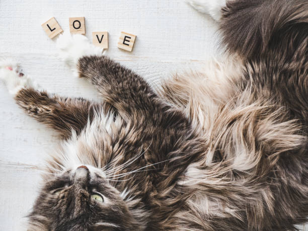 Lovely, charming kitten Lovely, charming kitten, lying on a white table near the wooden letters of the alphabet with the word LOVE. Top view, close-up, isolated. Love for pets kitten cute valentines day domestic cat stock pictures, royalty-free photos & images