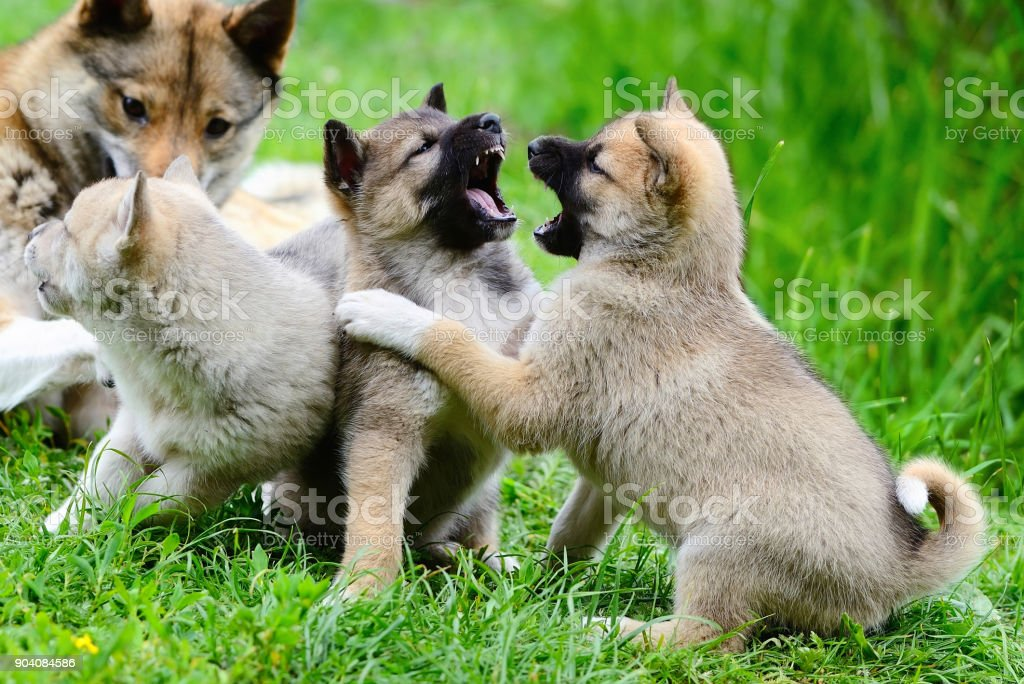 Lovely charming puppies of Laika breed play on the grass stock photo