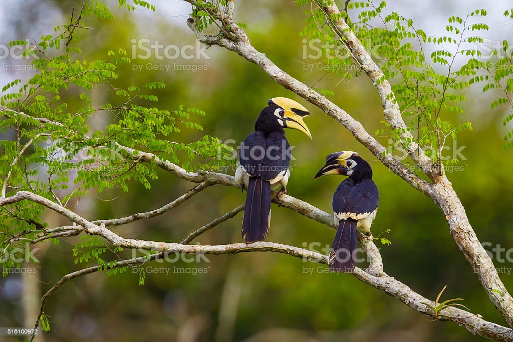 Lovely coupleOriental pied hornbill(Anthracoceros albirostris) stock photo
