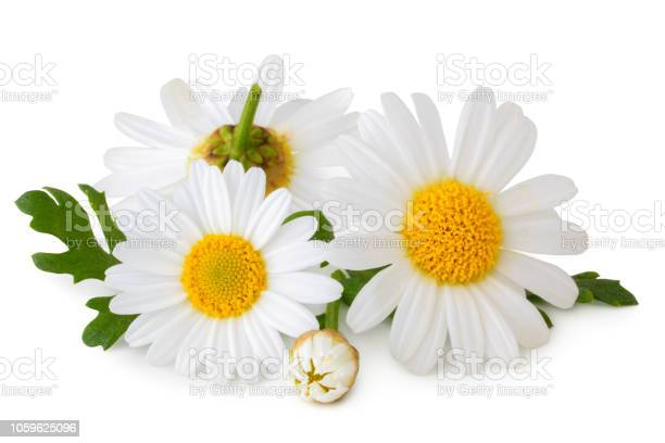 Lovely daisies isolated including clipping path without shade picture id1059625096?b=1&k=6&m=1059625096&s=612x612&h=anzh2xg thbbilag0gp8jlcjk79paeo9vsxivbi fy8=
