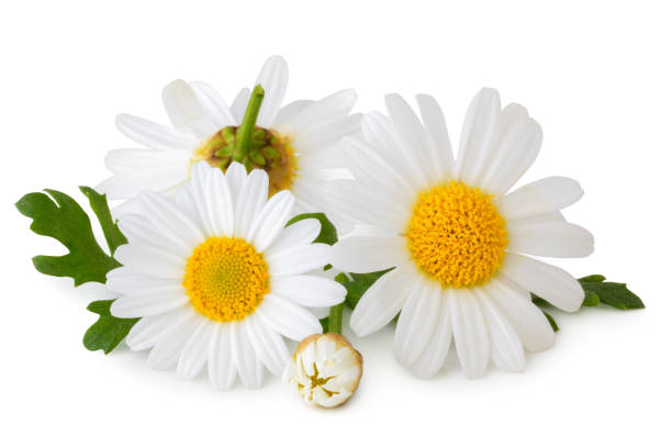 lovely daisies (marguerite) isolated, including clipping path without shade. - rumianek zdjęcia i obrazy z banku zdjęć