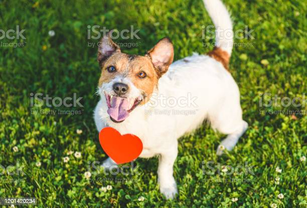 Lovely dog looking up with red heartshaped pendant as pet love picture id1201420234?b=1&k=6&m=1201420234&s=612x612&h=la m4yllcomgmjyotsvn07qqbt6syxbwxovvxbl3ehq=