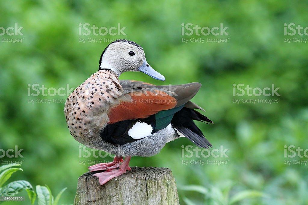 Lovely Duck stock photo