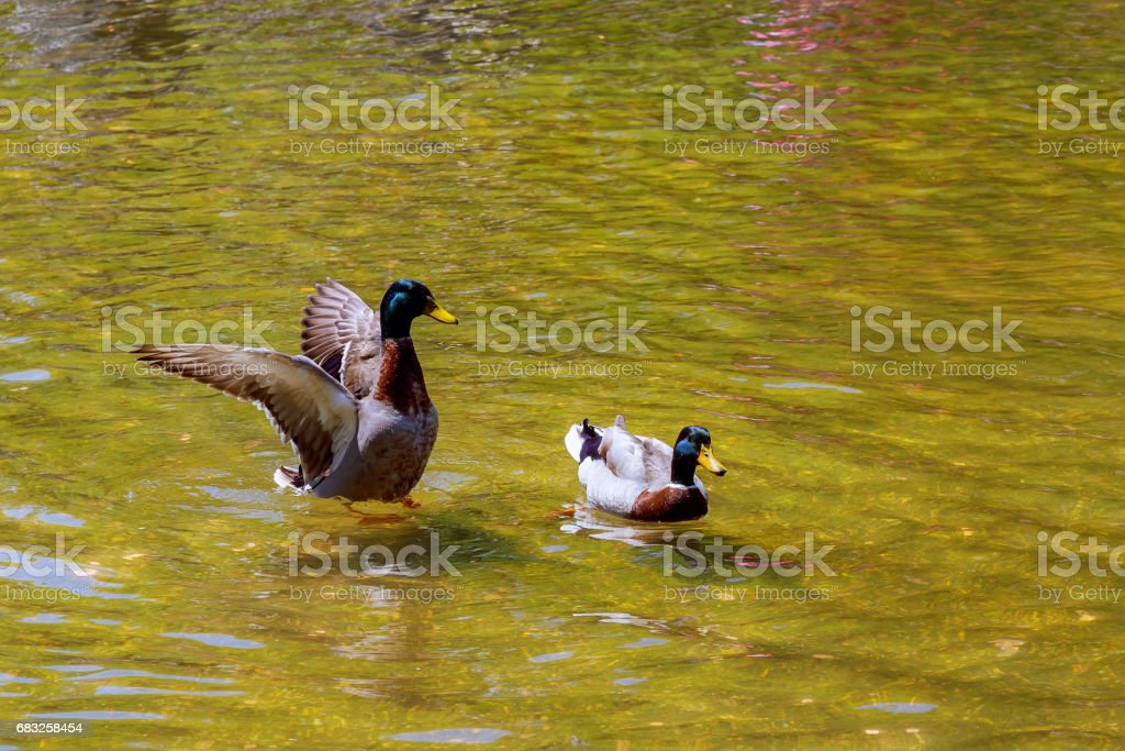 Lovely Duck swimming. Nature lake background. foto de stock royalty-free