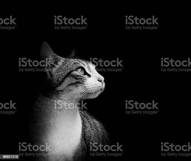 Lovely european cat isolated on black background picture id96831316?b=1&k=6&m=96831316&s=612x612&h=clgjtjuh 3mbo4xzgdbl920zvwvhscck4j ryundsg8=