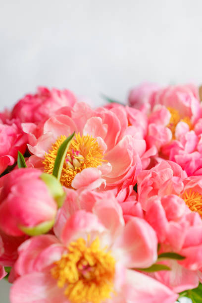 lovely flowers in glass vase. beautiful bouquet of peonies sort of coral charm. floral composition, scene, daylight. wallpaper. vertical photo - charming stock photos and pictures