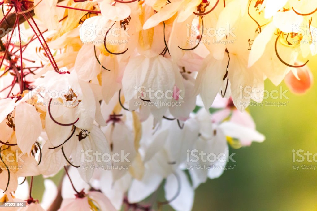 Lovely flowers of Cassia bakeriana Craib or Pink Shower tree royalty-free stock photo