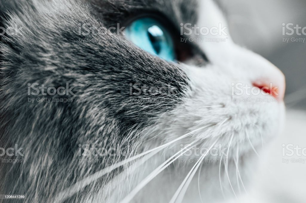 Lovely Funny Cat Face White Cat Pink Nose Blue Eye ...