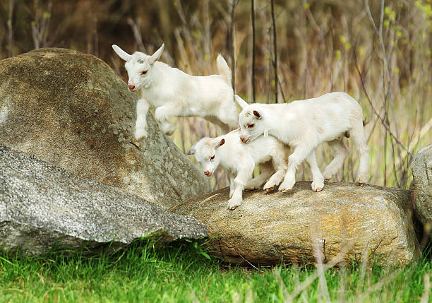 Lovely Goats stock photo