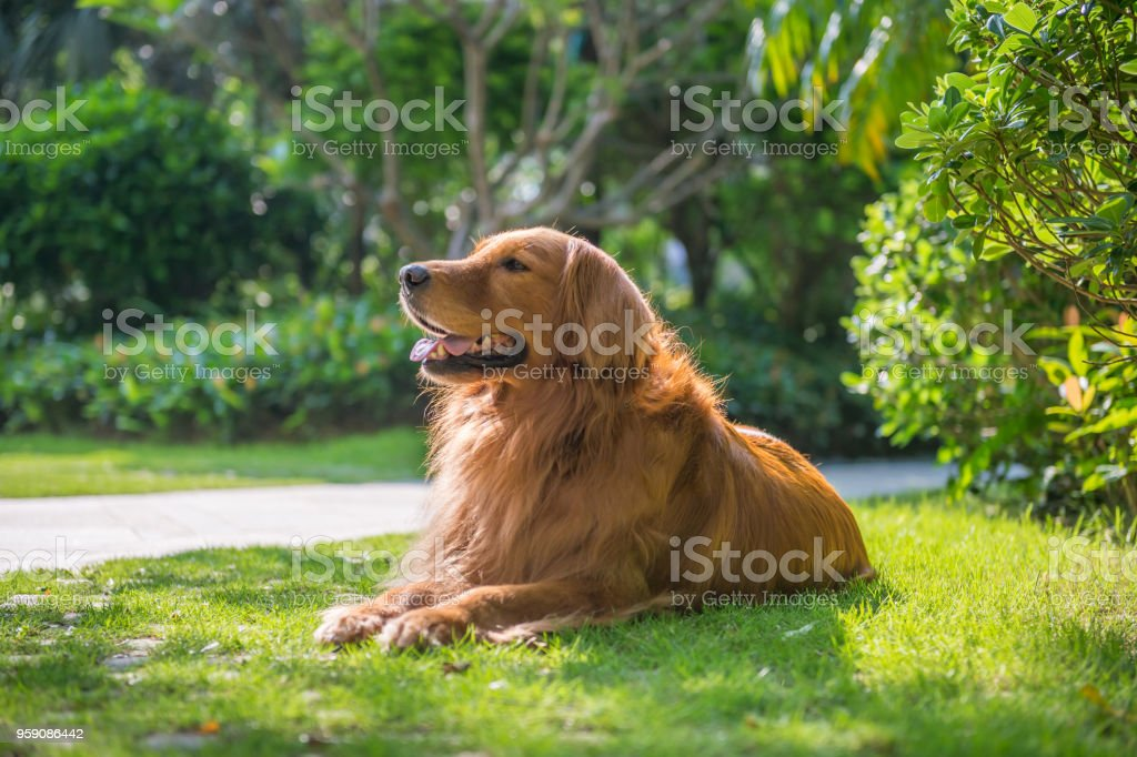 Lovely golden retriever, playing in the park stock photo