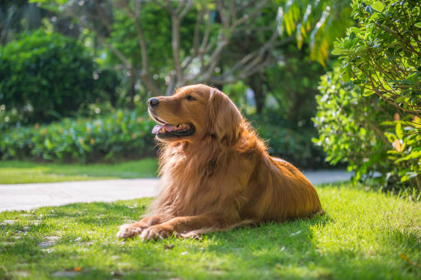 lovely golden retriever, playing in the park - golden retriever stock photos and pictures