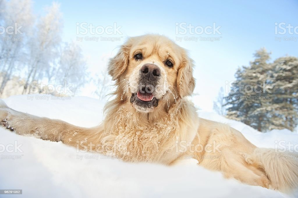Lovely golden retriever playing in the snow royalty-free stock photo