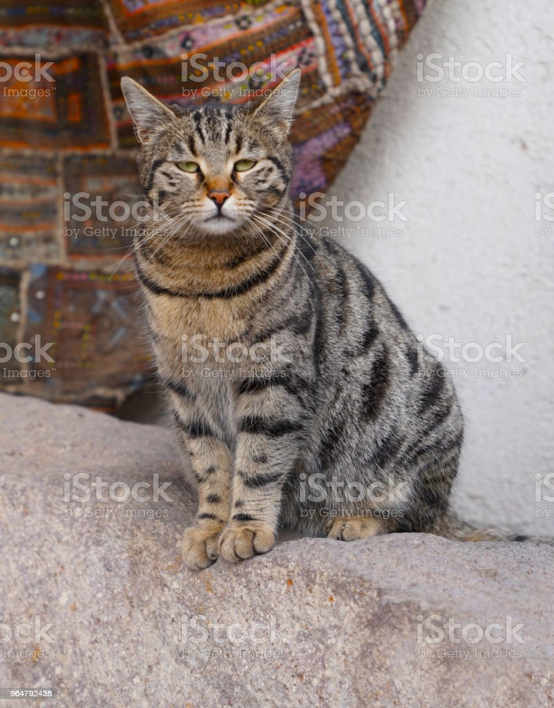 Lovely gray cat sitting on the rock and looking cool and oriental rug in the background royalty-free stock photo