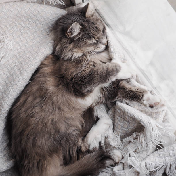 Lovely gray fluffy kitten gently asleep picture id937711984?b=1&k=6&m=937711984&s=612x612&w=0&h=vn 6whp3i0ba5c4rrzl5qshxhsspwjfzxo46kzrbrvq=