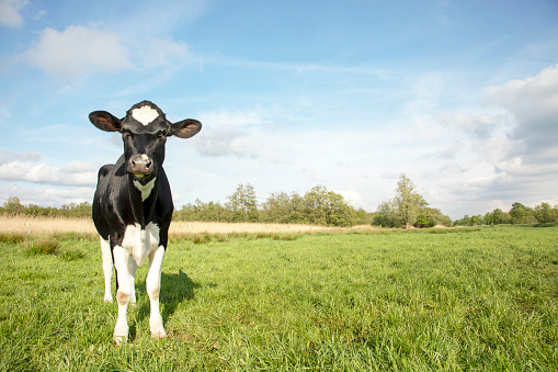 Sweet young white cow looks frank and free